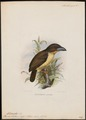 Caloramphus lathami - 1870-1871 - Print - Iconographia Zoologica - Special Collections University of Amsterdam - UBA01 IZ18800082.tif