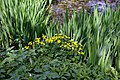 Caltha palustris 'marsh marigold' at Myddelton House, Enfield, London 02.jpg