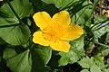 Caltha palustris 126355571.jpg