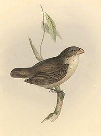 Camarhynchus psittaculus1