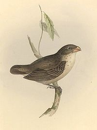 Camarhynchus psittaculus1.jpg