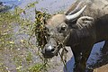 Cambodia. Water buffaloes. img 02.jpg