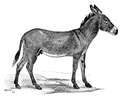 Cambridge Natural History Mammalia Fig 126.jpg