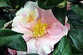 Camellia japonica Pink Icicle 4zz.jpg