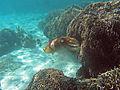 Camouflage cuttlefish 03.jpg