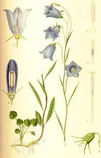 Campanula rotundifolia liten blåklocka