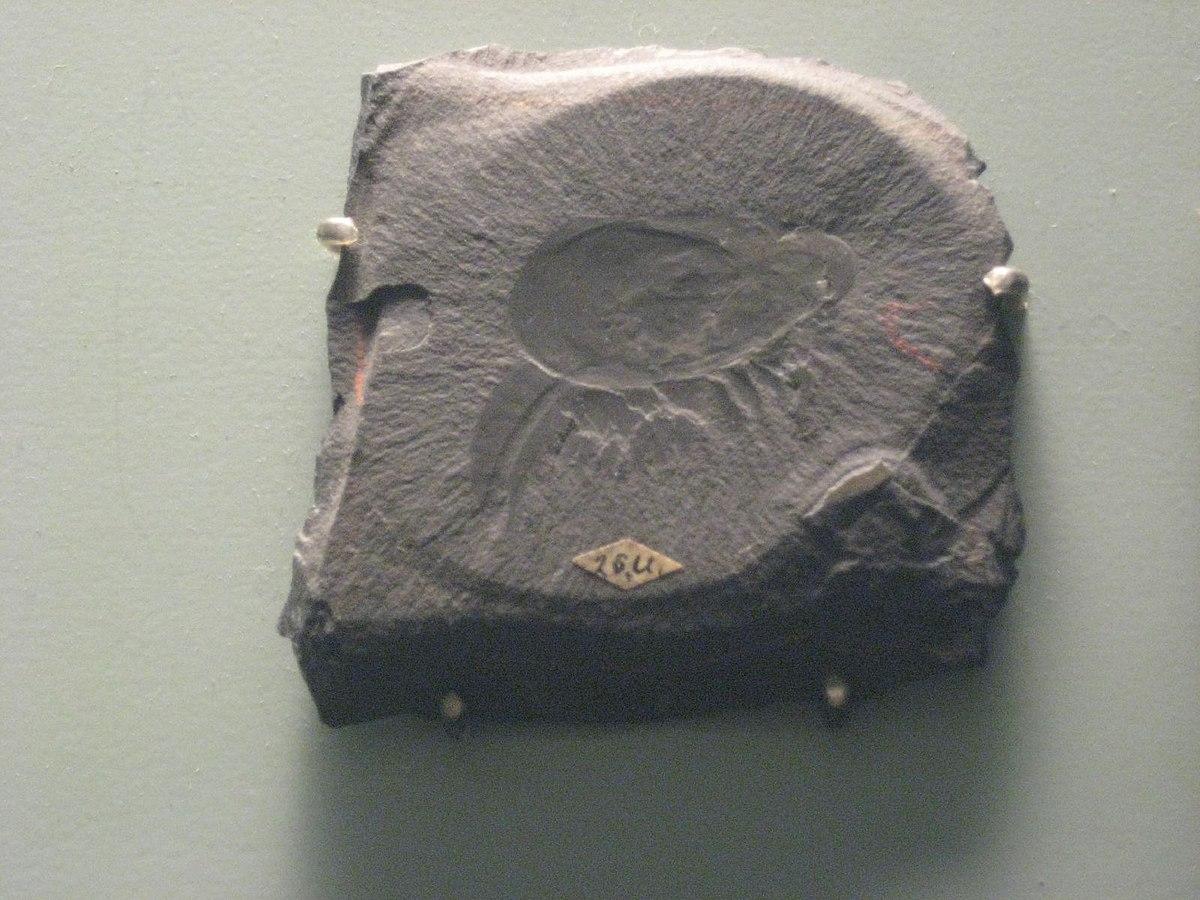 Canadaspis - Wikipedia