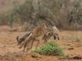 Canis anthus - Cécile Bloch 9.png