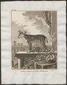 Canis lupus familiaris - 1700-1880 - Print - Iconographia Zoologica - Special Collections University of Amsterdam - UBA01 IZ22200007.tif