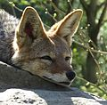 Canis mesomelas, relaxing, head only.jpg