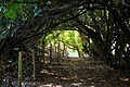 Canopied lane of laurels, Nuthurst, West Sussex, England 3.jpg