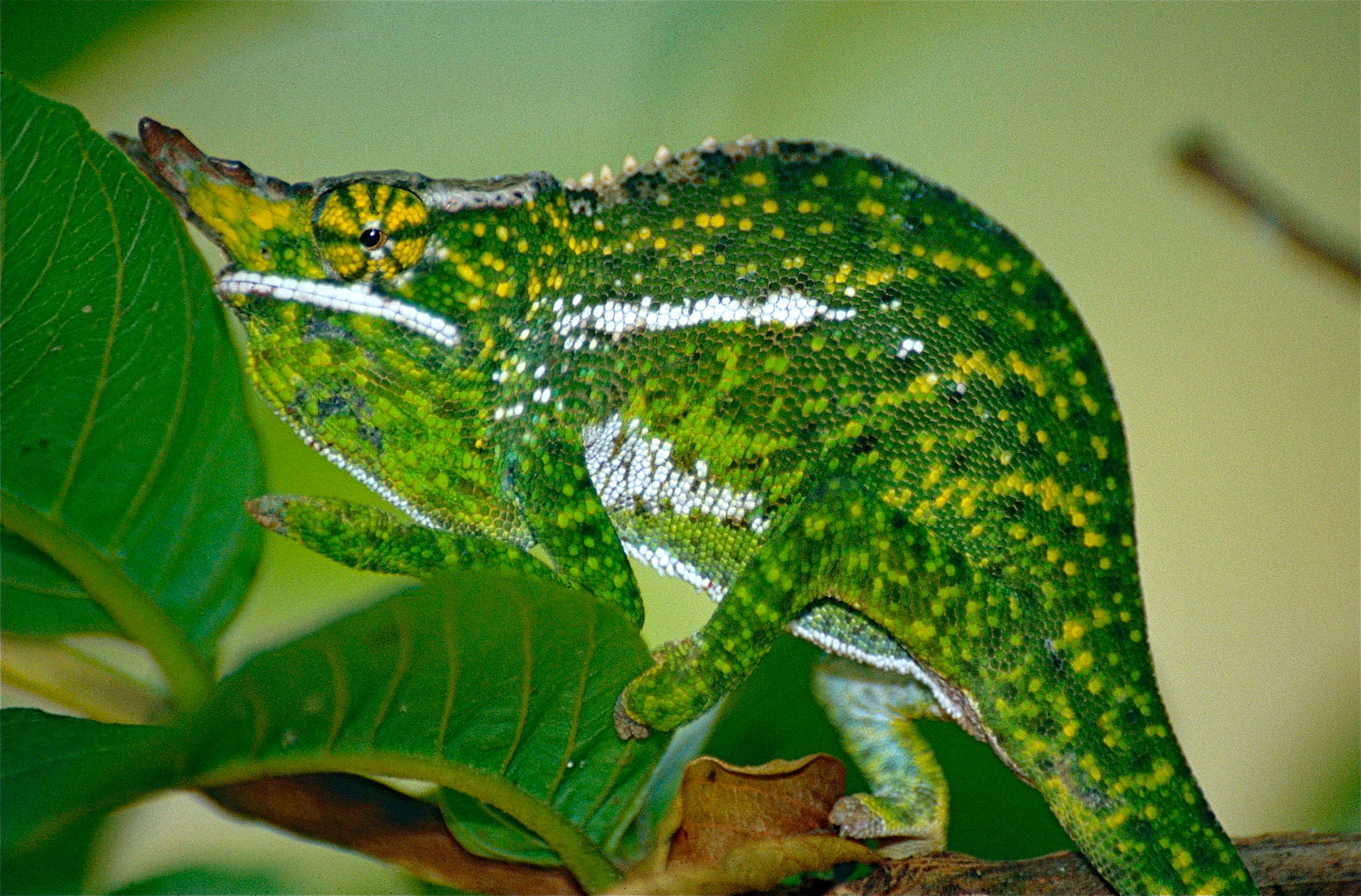 Furcifer willsii wikipedia - Leefgebied canape ...