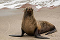 Cape Cross Seals (3690933239).jpg