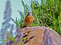 Cape Rock-thrush (Monticola rupestris) (6888389294).jpg