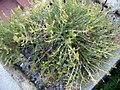 Capparis spinosa 1zz.jpg
