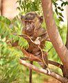 Captive Monkey, Ethiopia (15101792267).jpg