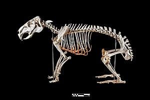 Capybara - Capybara skeleton