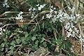 Cardamine trifolia Debeli vrh SI.jpg