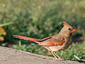 Cardinalis cardinalis (female), Owen Conservation Park, Madison, Wisconsin.jpg