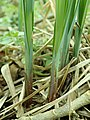 Carex acutiformis 2019-03-24 7761.jpg