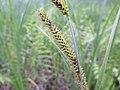 Carex acutiformis inflorescens (02).jpg