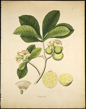 Description de l'image Careya arborea.jpg.
