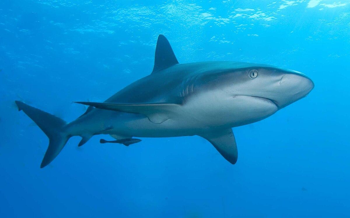 Carcharhinus perezii - Wikispecies