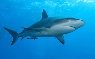 Chondrichthyes - Image: Caribbean reef shark