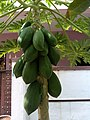 Carica papaya unripe fruit from Tirupur IMG 20180502 110248534.jpg