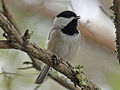 Carolina Chickadee sc RWD.jpg