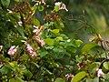 Casco de buey (Bauhinia variegata) (14284232672).jpg
