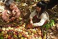 Cashew Nuts ernten mit Family Thong in Ratanakiri 15.JPG
