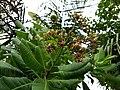 Cashew tree (Anacardium occidentale). കശുമാവ്.Flower .jpg