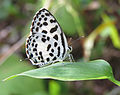 Castalius rosimon - Common Pierrot 03.jpg