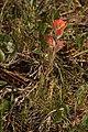 Castilleja brevilobata 4707.JPG