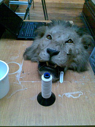 Inventory (museum) - A taxidermied lion's head displayed in the Natural History Museum, Dublin, being labelled as part of a museum inventory and cataloguing.
