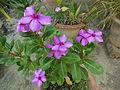 Catharanthus roseus Madagascar periwinkle 2.JPG