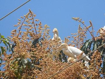 Cattle egret on a mango tree 1.jpg