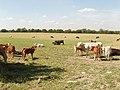 Cattle near Waldridge Manor - geograph.org.uk - 46690.jpg