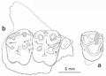 Cebochoerus fontensis tooth.png