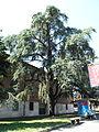 Cedrus libani, Piazza Riconoscenza (Rovigo).JPG