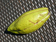 Ceiba pentandra fruit out hg.jpg