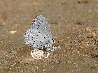 <i>Celastrina lavendularis</i> species of insect
