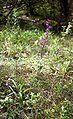 Cephalanthera rubra 01 Luxemburg.jpg
