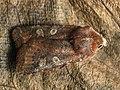 Cerastis leucographa - White-marked - Весенняя совка серо-бурая (27207297218).jpg