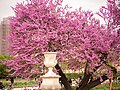 Cercis siliquastrum L. in Paris Jardin des Tuileries, april 2014 (02).jpg
