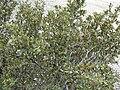 Cercocarpus ledifolius var intermontanus 1.jpg