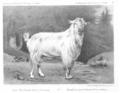 Chèvre Saanen Suisse Gessenay.png