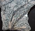 Chaleuria cirrosa fossil land plant (Lower Devonian; New Brunswick, southeastern Canada) 1 (15518602081).jpg