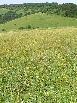 Chalk grassland within Old Winchester Hill fort - geograph.org.uk - 188169